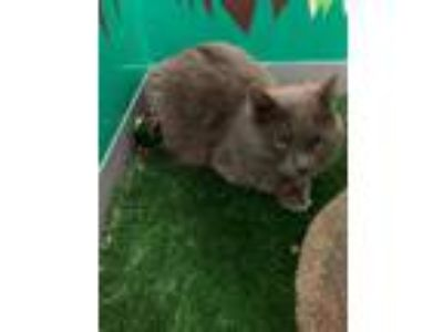 Adopt Ty a Gray or Blue Russian Blue (long coat) cat in Pasadena, CA (21479895)