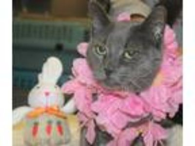 Adopt NICOLE a Domestic Short Hair