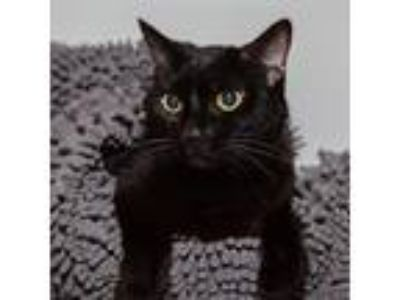 Adopt Tofu a All Black Domestic Shorthair / Mixed cat in Mission Hills