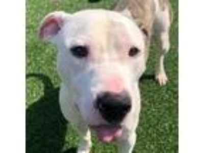 Adopt Davis a White - with Tan, Yellow or Fawn Pit Bull Terrier dog in Chatham