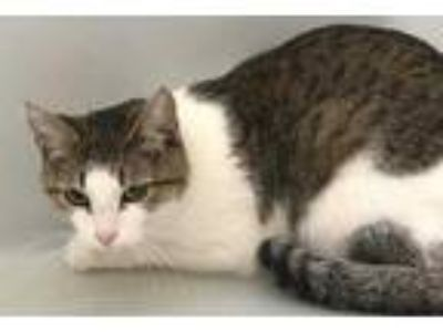 Adopt Belle a Brown or Chocolate Domestic Shorthair / Domestic Shorthair / Mixed