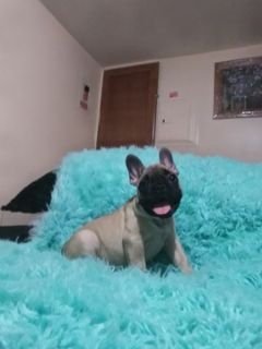 French Bulldog PUPPY FOR SALE ADN-97767 - Chanel