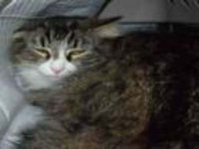 Adopt MEOWGICAL a Domestic Medium Hair