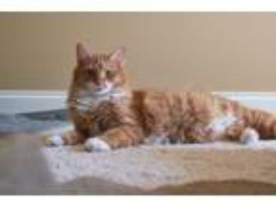 Adopt Julius a Orange or Red Tabby Domestic Shorthair (short coat) cat in