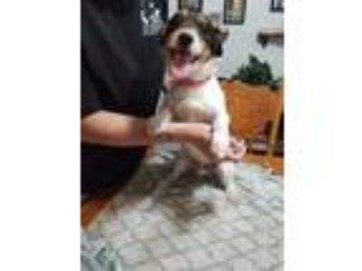 Adopt Rosco a Rat Terrier / Jack Russell Terrier dog in Norristown