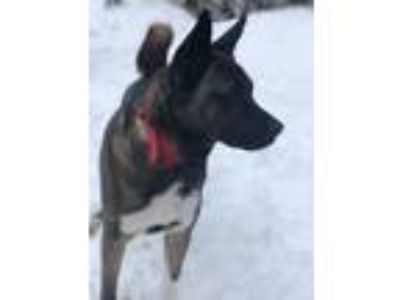 Adopt Lexi a White - with Brown or Chocolate Akita / Basenji dog in Palmer