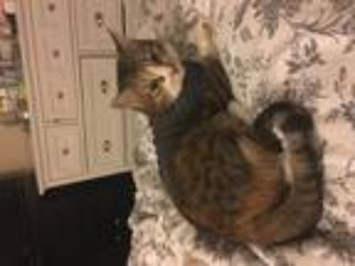 Adopt Beesee a Brown Tabby Calico / Mixed (short coat) cat in Orange