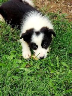 Border Collie PUPPY FOR SALE ADN-97098 - Kiliti Family Farm Border Collies