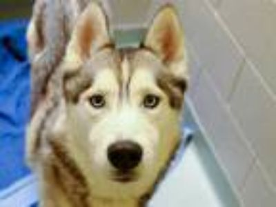 Adopt CONNOR a Black - with White Husky / Mixed dog in Denver, CO (25590969)