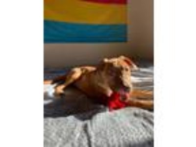 Adopt Travis a Red/Golden/Orange/Chestnut Hound (Unknown Type) / Boxer / Mixed
