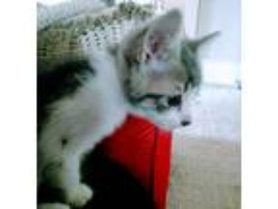 Adopt Shackleton a Gray or Blue (Mostly) American Shorthair / Mixed cat in