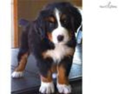 Bernese Mtn Dog Puppy 7 weeks