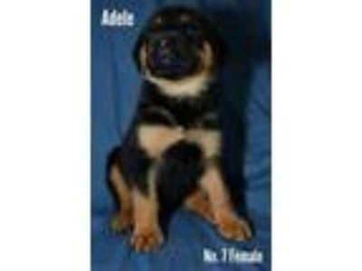 Adopt Adele a Rottweiler, Mixed Breed