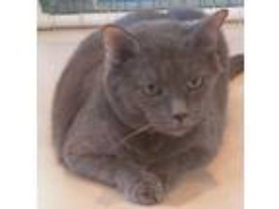 Adopt Rocko a Domestic Short Hair