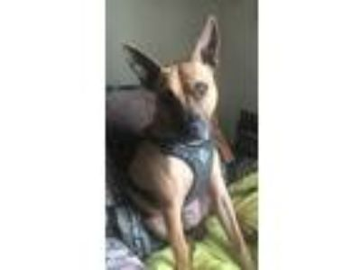 Adopt Henry a Tan/Yellow/Fawn - with Black German Shepherd Dog / American Pit