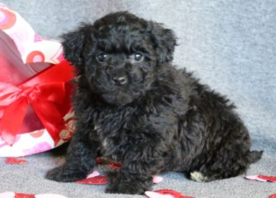 Lhasa-Poo PUPPY FOR SALE ADN-64366 - Lhasapoo Puppy for Sale