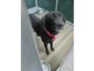 Adopt *SAUDI a Black Labrador Retriever / Mixed dog in Killeen, TX (25553148)