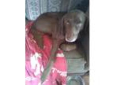 Adopt Duke sophi a Brown/Chocolate Labrador Retriever / Labrador Retriever /