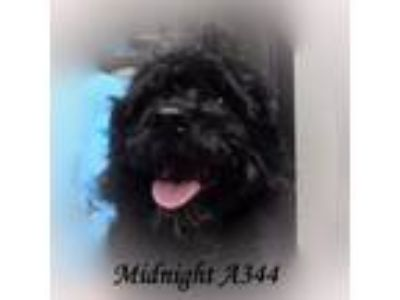 Adopt Midnight a Poodle
