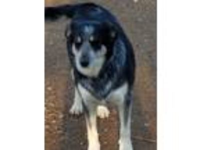 Adopt Granny a Black - with Tan, Yellow or Fawn Cattle Dog / Border Collie /