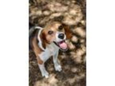 Adopt Isaiah a Beagle / Mixed dog in Canton, GA (25624901)