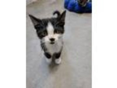 Adopt Anabelle a Domestic Short Hair