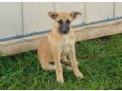 Adopt Luna coming 7-20 a Red/Golden/Orange/Chestnut - with Black German Shepherd