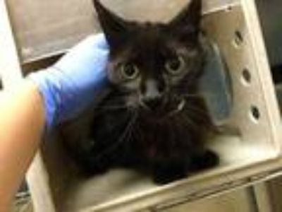 Adopt Cat a All Black Domestic Mediumhair / Mixed (medium coat) cat in Jurupa