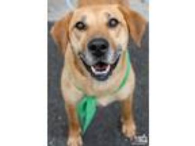 Adopt Joella a Tan/Yellow/Fawn Labrador Retriever / Mixed dog in Washington