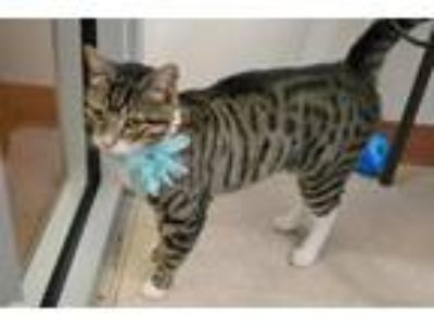 Adopt Zero a Brown Tabby Domestic Shorthair / Mixed (short coat) cat in