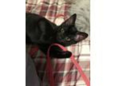 Adopt Addison a American Shorthair, Domestic Short Hair