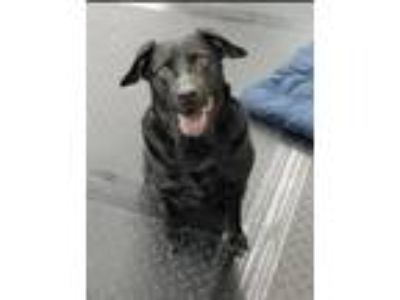 Adopt Kate a Black Labrador Retriever / Mixed dog in Plainfield, IL (25347524)