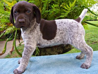German Shorthaired Pointer PUPPY FOR SALE ADN-87608 - AKC German Shorthaired Pointer Puppy Buck