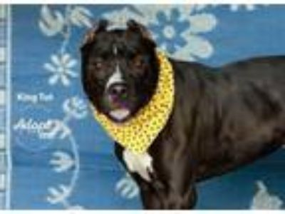 Adopt King Tut a Pit Bull Terrier, Mixed Breed