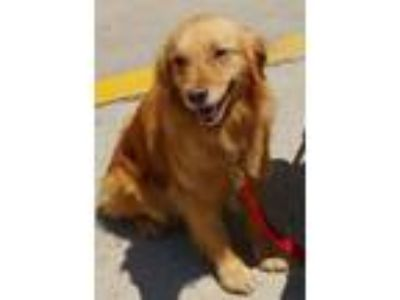 Adopt Llewelyn a Labrador Retriever, Golden Retriever