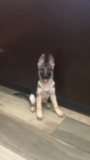 German Shepherd Dog PUPPY FOR SALE ADN-109008 - GERMAN SHEPHERD GORGEOUS PUPPY