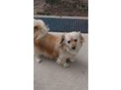 Adopt Kevin a Chow Chow