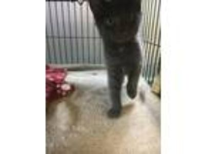 Adopt ET a Domestic Short Hair