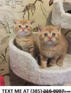 %100 Scottish Fold Kittens For Sale