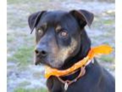 Adopt Neron a Black Labrador Retriever / Rottweiler / Mixed dog in Loxahatchee