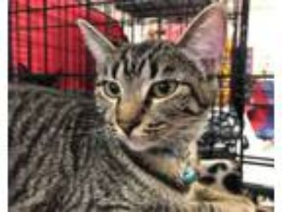 Adopt Dorothy a Domestic Short Hair