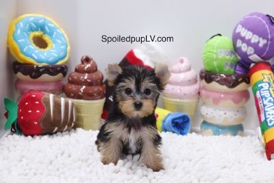Yorkshire Terrier PUPPY FOR SALE ADN-104616 - Yorkshire Terrier  Crystal  Female