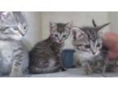 Adopt Three Sweethearts a Domestic Mediumhair / Mixed cat in Homer Glen