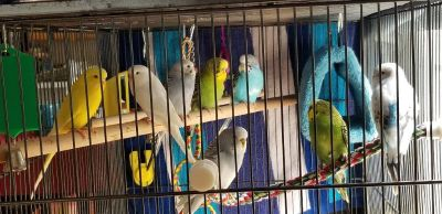 Parakeets for adoption