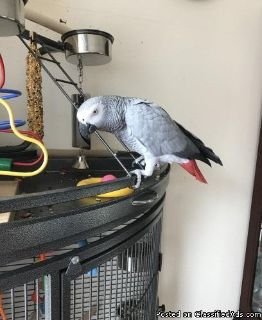 beautiful feathers african greys for sale