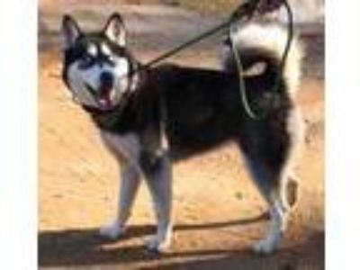 Adopt Uki a Black - with Gray or Silver Siberian Husky / Mixed dog in Boston