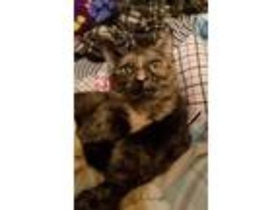 Adopt Wednesday Loves Dogs a Domestic Shorthair / Mixed cat in Youngsville