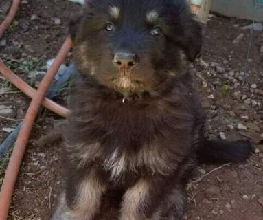 German Shepherd Dog PUPPY FOR SALE ADN-129451 - German Shepherd puppy