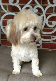 Havanese PUPPY FOR SALE ADN-89195 - HAVANESE FEMALE
