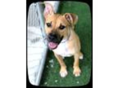 Adopt PEANUT a Tan/Yellow/Fawn - with Black Boxer / Mixed dog in Marietta